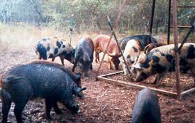Picture of feral hogs.